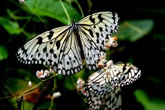 Batu Ferringhi, Malaysia: Butterfly Feeding Stock Photo