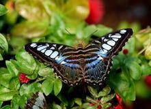 Batu Ferringhi, Maleisië: Vlinder Royalty-vrije Stock Foto's