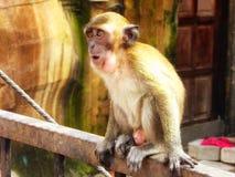 Batu höhlt das junge Affeanstarren aus Lizenzfreie Stockfotografie