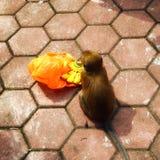 Batu höhlt den jungen Affen aus, der Banane isst Stockfoto