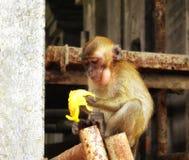 Batu höhlt den jungen Affen aus, der Banane isst Stockbilder