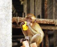 Batu höhlt den jungen Affen aus, der Banane isst Lizenzfreies Stockfoto