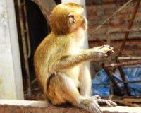 Batu höhlt den jungen Affen aus, der Banane isst Lizenzfreie Stockfotografie