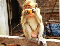 Batu höhlt den jungen Affen aus, der Lebensmittel isst Lizenzfreie Stockfotografie