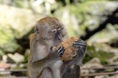Batu jamy, małpi mienie koks zdjęcie stock