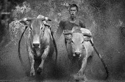 Pacu Jawi Race Royalty Free Stock Images