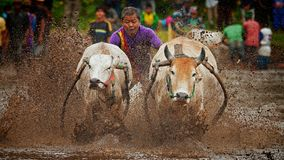 Pacu Jawi race royalty free stock photo