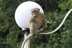 Batu scava la scimmia Fotografie Stock Libere da Diritti