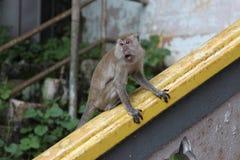 Batu scava la scimmia Immagine Stock