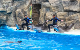 BATUMI, GEORGIA-JULY 9 2015 Instructors perform with trained dolphins inthe Batumi Dolphinarium.  Stock Photos
