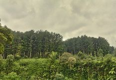 Baturaden pine forests Royalty Free Stock Image