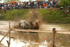 Batusangkar,印度尼西亚, 2015年8月29日:两头母牛和一个人充分的行动的在母牛种族Pacu Jawi,西部苏门答腊, 库存图片