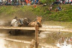 Batusangkar,印度尼西亚, 2015年8月29日:两头母牛和一个人充分的行动的在母牛种族Pacu Jawi,西部苏门答腊, 免版税库存照片