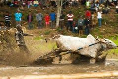 Batusangkar, Indonésia, o 29 de agosto de 2015: Duas vacas e um homem na ação completa na raça Pacu Jawi da vaca, Sumatra ocident Imagem de Stock Royalty Free