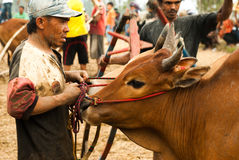 Batusangkar, Indonésie, le 29 août 2015 : Équipez tenir la vache à la course Pacu Jawi, Sumatra occidental de taureau, image stock