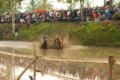 Batusangkar, Indonesië, 29 Augustus, 2015: Twee koeien en één mens in volledige actie bij koeras Pacu Jawi, het Westen Sumatra, royalty-vrije stock afbeelding