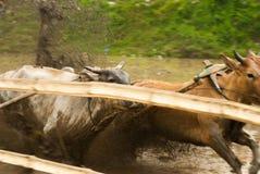 Batusangkar, Indonesië, 29 Augustus, 2015: Twee koeien en één mens in volledige actie bij koeras Pacu Jawi, het Westen Sumatra, stock afbeeldingen