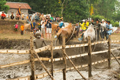 Batusangkar, Indonesia, August 29, 2015: Two cows and one man in full action at cow race Pacu Jawi, West Sumatra, Stock Images