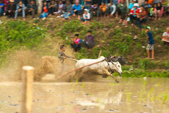 Batusangkar, Indonesia, August 29, 2015: Two cows and one man in full action at cow race Pacu Jawi, West Sumatra, Stock Photos