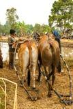 Batusangkar, Indonesia, el 29 de agosto de 2015: Dos vacas que consiguen listas para la raza Pacu Jawi, Sumatra del oeste de la v Fotografía de archivo