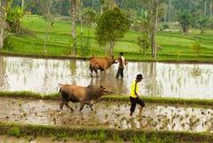 Batusangkar, Indonesia, el 29 de agosto de 2015: Dos vacas que consiguen resto de la raza Pacu Jawi, Sumatra del oeste de la vaca Foto de archivo libre de regalías