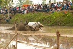 Batusangkar, Indonesia, el 29 de agosto de 2015: Dos vacas y un hombre en la acción completa en la raza Pacu Jawi, Sumatra del oe Fotos de archivo libres de regalías