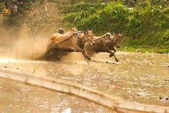 Batusangkar, Indonesia, el 29 de agosto de 2015: Dos vacas y un hombre en la acción completa en la raza Pacu Jawi, Sumatra del oe Fotos de archivo