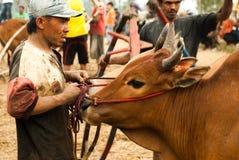 Batusangkar, Indonesia, el 29 de agosto de 2015: Sirva sostener la vaca en la raza Pacu Jawi, Sumatra del oeste del toro, Imagen de archivo