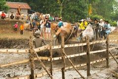 Batusangkar, Indonesien, am 29. August 2015: Zwei Kühe und ein Mann im vollen Betrieb am Kuhrennen Pacu Jawi, West-Sumatra, Stockbilder