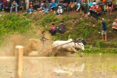 Batusangkar, Indonesien, am 29. August 2015: Zwei Kühe und ein Mann im vollen Betrieb am Kuhrennen Pacu Jawi, West-Sumatra, Stockfotos