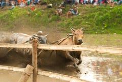 Batusangkar, Indonesien, am 29. August 2015: Zwei Kühe und ein Mann im vollen Betrieb am Kuhrennen Pacu Jawi, West-Sumatra, Lizenzfreies Stockbild
