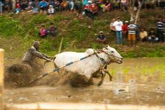 Batusangkar, Indonesien, am 29. August 2015: Zwei Kühe und ein Mann im vollen Betrieb am Kuhrennen Pacu Jawi, West-Sumatra, Stockfoto