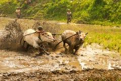 Batusangkar, Indonesien, am 29. August 2015: Zwei Kühe und ein Mann im vollen Betrieb am Kuhrennen Pacu Jawi, West-Sumatra, Stockfotografie