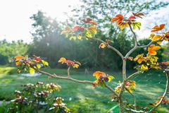Bauchschmerzenbusch Jatropha gossypifolia Lizenzfreie Stockfotografie