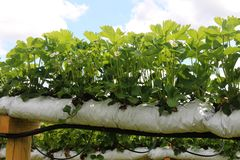 Bauen Sie Tasche angebaute Erdbeeren an Lizenzfreies Stockbild