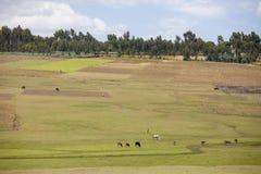 Bauernhöfe und Vieh in Äthiopien Stockfoto