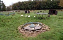 Bauernhof Ackerland Enten, die im Wasser in einem Bauernhof schwimmen Stockbilder