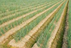 Bauernhof der grünen Zwiebel. Stockfoto