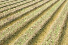 Bauernhof der grünen Zwiebel. Lizenzfreie Stockfotografie