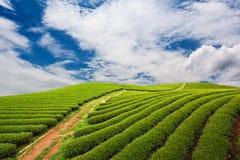 Bauernhof des grünen Tees Lizenzfreies Stockfoto
