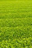 Bauernhof des grünen Tees Lizenzfreie Stockfotos