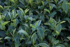 Bauernhof des grünen Tees Stockbild