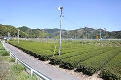 Bauernhof des grünen Tees im Vorfrühling Stockfotos