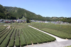 Bauernhof des grünen Tees im Vorfrühling Stockbild