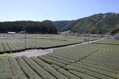 Bauernhof des grünen Tees im Vorfrühling Stockfoto