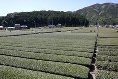 Bauernhof des grünen Tees im Vorfrühling Lizenzfreie Stockfotos