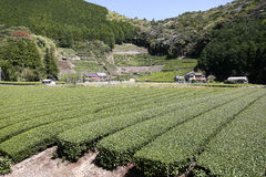 Bauernhof des grünen Tees im Vorfrühling Stockbilder