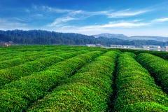 Bauernhof des grünen Tees mit blauem Himmel Stockfotos