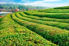 Bauernhof des grünen Tees mit blauem Himmel Lizenzfreie Stockfotografie