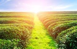 Bauernhof des grünen Tees mit blauem Himmel Lizenzfreies Stockbild